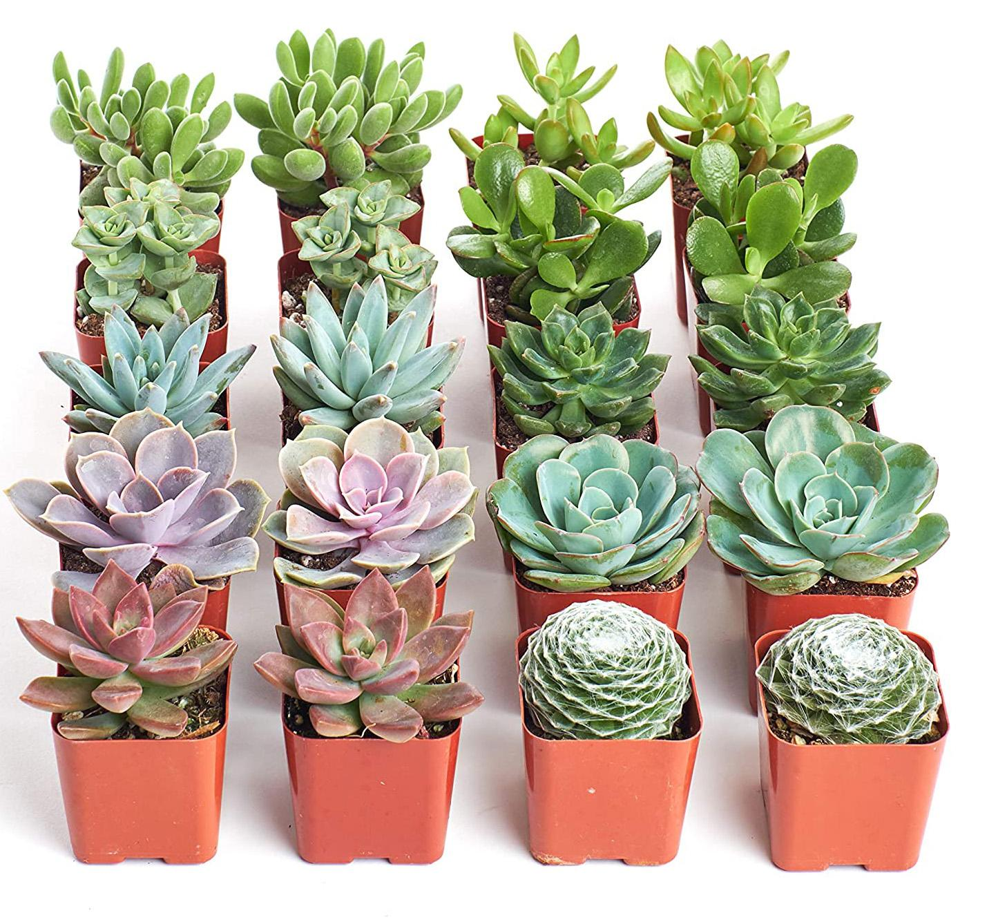 20 Shop Succulents Collection Assortment for $29.99 Shipped